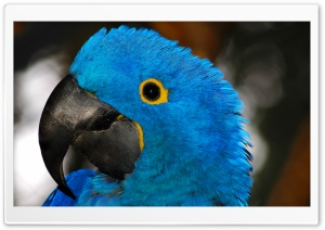 Blue Parrot HD Wide Wallpaper for 4K UHD Widescreen desktop & smartphone
