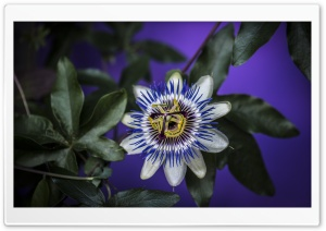Blue Passion Flower HD Wide Wallpaper for 4K UHD Widescreen desktop & smartphone