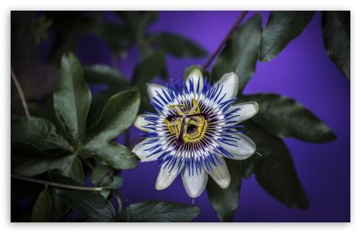 Blue Passion Flower UltraHD Wallpaper for Wide 16:10 5:3 Widescreen WHXGA WQXGA WUXGA WXGA WGA ; UltraWide 21:9 24:10 ; 8K UHD TV 16:9 Ultra High Definition 2160p 1440p 1080p 900p 720p ; UHD 16:9 2160p 1440p 1080p 900p 720p ; Standard 4:3 5:4 3:2 Fullscreen UXGA XGA SVGA QSXGA SXGA DVGA HVGA HQVGA ( Apple PowerBook G4 iPhone 4 3G 3GS iPod Touch ) ; Smartphone 16:9 3:2 5:3 2160p 1440p 1080p 900p 720p DVGA HVGA HQVGA ( Apple PowerBook G4 iPhone 4 3G 3GS iPod Touch ) WGA ; Tablet 1:1 ; iPad 1/2/Mini ; Mobile 4:3 5:3 3:2 16:9 5:4 - UXGA XGA SVGA WGA DVGA HVGA HQVGA ( Apple PowerBook G4 iPhone 4 3G 3GS iPod Touch ) 2160p 1440p 1080p 900p 720p QSXGA SXGA ; Dual 5:4 QSXGA SXGA ;
