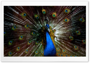 Blue Peacock HD Wide Wallpaper for Widescreen