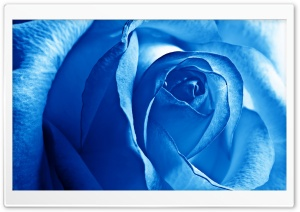 Blue Rose HD Wide Wallpaper for 4K UHD Widescreen desktop & smartphone