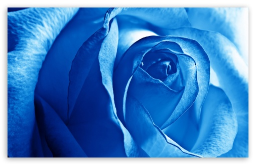 Blue Rose HD wallpaper for Wide 16:10 5:3 Widescreen WHXGA WQXGA WUXGA WXGA WGA ; HD 16:9 High Definition WQHD QWXGA 1080p 900p 720p QHD nHD ; Standard 4:3 5:4 3:2 Fullscreen UXGA XGA SVGA QSXGA SXGA DVGA HVGA HQVGA devices ( Apple PowerBook G4 iPhone 4 3G 3GS iPod Touch ) ; Tablet 1:1 ; iPad 1/2/Mini ; Mobile 4:3 5:3 3:2 16:9 5:4 - UXGA XGA SVGA WGA DVGA HVGA HQVGA devices ( Apple PowerBook G4 iPhone 4 3G 3GS iPod Touch ) WQHD QWXGA 1080p 900p 720p QHD nHD QSXGA SXGA ;