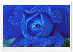 Blue Rose HD Wide Wallpaper for Widescreen