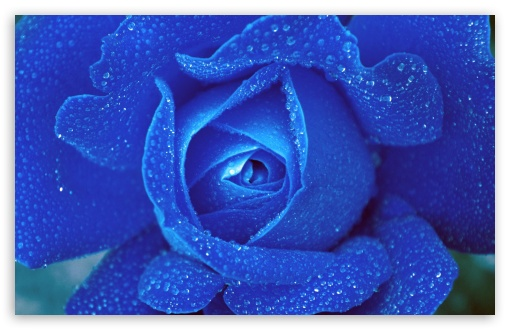 Blue Rose ❤ 4K UHD Wallpaper for Wide 16:10 5:3 Widescreen WHXGA WQXGA WUXGA WXGA WGA ; 4K UHD 16:9 Ultra High Definition 2160p 1440p 1080p 900p 720p ; Standard 4:3 5:4 3:2 Fullscreen UXGA XGA SVGA QSXGA SXGA DVGA HVGA HQVGA ( Apple PowerBook G4 iPhone 4 3G 3GS iPod Touch ) ; Smartphone 5:3 WGA ; Tablet 1:1 ; iPad 1/2/Mini ; Mobile 4:3 5:3 3:2 16:9 5:4 - UXGA XGA SVGA WGA DVGA HVGA HQVGA ( Apple PowerBook G4 iPhone 4 3G 3GS iPod Touch ) 2160p 1440p 1080p 900p 720p QSXGA SXGA ;