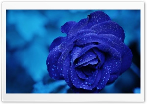 Blue Rose Macro HD Wide Wallpaper for Widescreen