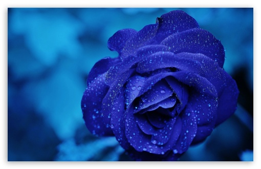 Blue Rose Macro HD wallpaper for Wide 16:10 5:3 Widescreen WHXGA WQXGA WUXGA WXGA WGA ; HD 16:9 High Definition WQHD QWXGA 1080p 900p 720p QHD nHD ; UHD 16:9 WQHD QWXGA 1080p 900p 720p QHD nHD ; Standard 4:3 5:4 3:2 Fullscreen UXGA XGA SVGA QSXGA SXGA DVGA HVGA HQVGA devices ( Apple PowerBook G4 iPhone 4 3G 3GS iPod Touch ) ; Smartphone 5:3 WGA ; Tablet 1:1 ; iPad 1/2/Mini ; Mobile 4:3 5:3 3:2 16:9 5:4 - UXGA XGA SVGA WGA DVGA HVGA HQVGA devices ( Apple PowerBook G4 iPhone 4 3G 3GS iPod Touch ) WQHD QWXGA 1080p 900p 720p QHD nHD QSXGA SXGA ; Dual 16:10 5:3 16:9 4:3 5:4 WHXGA WQXGA WUXGA WXGA WGA WQHD QWXGA 1080p 900p 720p QHD nHD UXGA XGA SVGA QSXGA SXGA ;