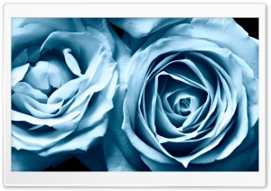 Blue Roses HD Wide Wallpaper for Widescreen