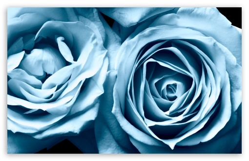 Blue Roses HD wallpaper for Wide 16:10 5:3 Widescreen WHXGA WQXGA WUXGA WXGA WGA ; HD 16:9 High Definition WQHD QWXGA 1080p 900p 720p QHD nHD ; UHD 16:9 WQHD QWXGA 1080p 900p 720p QHD nHD ; Standard 4:3 5:4 3:2 Fullscreen UXGA XGA SVGA QSXGA SXGA DVGA HVGA HQVGA devices ( Apple PowerBook G4 iPhone 4 3G 3GS iPod Touch ) ; iPad 1/2/Mini ; Mobile 4:3 5:3 3:2 16:9 5:4 - UXGA XGA SVGA WGA DVGA HVGA HQVGA devices ( Apple PowerBook G4 iPhone 4 3G 3GS iPod Touch ) WQHD QWXGA 1080p 900p 720p QHD nHD QSXGA SXGA ;