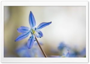 Blue Siberian Squill Flower HD Wide Wallpaper for Widescreen