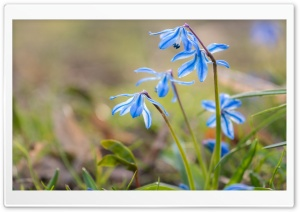 Blue Squill Flowers HD Wide Wallpaper for Widescreen
