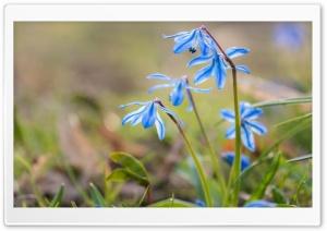 Blue Squill Flowers Ultra HD Wallpaper for 4K UHD Widescreen desktop, tablet & smartphone