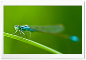 Blue Tailed Damselfly HD Wide Wallpaper for 4K UHD Widescreen desktop & smartphone