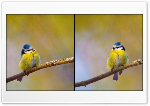 Blue Tit HD Wide Wallpaper for Widescreen