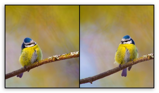 Blue Tit ❤ 4K UHD Wallpaper for 4K UHD 16:9 Ultra High Definition 2160p 1440p 1080p 900p 720p ; UHD 16:9 2160p 1440p 1080p 900p 720p ;