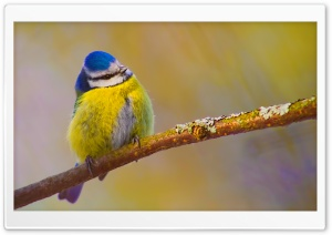 Blue Tit Bird HD Wide Wallpaper for Widescreen