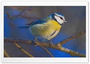 Blue Tit Macro HD Wide Wallpaper for 4K UHD Widescreen desktop & smartphone