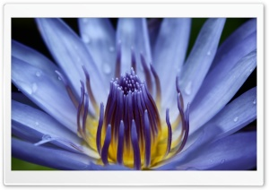 Blue Water Lily Close-up HD Wide Wallpaper for Widescreen