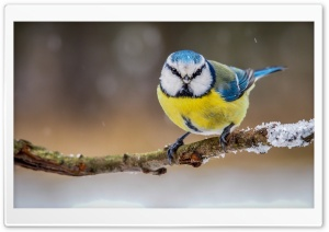 Blue Yellow Bird HD Wide Wallpaper for Widescreen