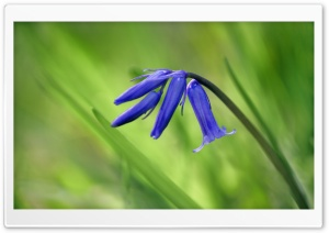 Bluebell Flowers HD Wide Wallpaper for Widescreen