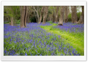 Bluebell Flowers, Grove, Spring HD Wide Wallpaper for Widescreen