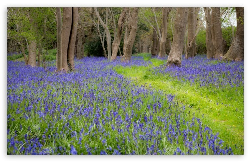 Bluebell Flowers, Grove, Spring ❤ 4K UHD Wallpaper for Wide 16:10 5:3 Widescreen WHXGA WQXGA WUXGA WXGA WGA ; UltraWide 21:9 24:10 ; 4K UHD 16:9 Ultra High Definition 2160p 1440p 1080p 900p 720p ; UHD 16:9 2160p 1440p 1080p 900p 720p ; Standard 4:3 5:4 3:2 Fullscreen UXGA XGA SVGA QSXGA SXGA DVGA HVGA HQVGA ( Apple PowerBook G4 iPhone 4 3G 3GS iPod Touch ) ; Smartphone 16:9 3:2 5:3 2160p 1440p 1080p 900p 720p DVGA HVGA HQVGA ( Apple PowerBook G4 iPhone 4 3G 3GS iPod Touch ) WGA ; Tablet 1:1 ; iPad 1/2/Mini ; Mobile 4:3 5:3 3:2 16:9 5:4 - UXGA XGA SVGA WGA DVGA HVGA HQVGA ( Apple PowerBook G4 iPhone 4 3G 3GS iPod Touch ) 2160p 1440p 1080p 900p 720p QSXGA SXGA ; Dual 16:10 5:3 4:3 5:4 3:2 WHXGA WQXGA WUXGA WXGA WGA UXGA XGA SVGA QSXGA SXGA DVGA HVGA HQVGA ( Apple PowerBook G4 iPhone 4 3G 3GS iPod Touch ) ;