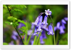Bluebells Flowers, Perivale Wood HD Wide Wallpaper for 4K UHD Widescreen desktop & smartphone