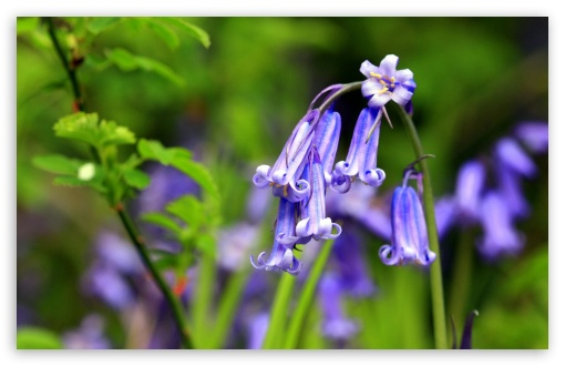 Bluebells Flowers, Perivale Wood UltraHD Wallpaper for Wide 16:10 5:3 Widescreen WHXGA WQXGA WUXGA WXGA WGA ; 8K UHD TV 16:9 Ultra High Definition 2160p 1440p 1080p 900p 720p ; Standard 4:3 5:4 3:2 Fullscreen UXGA XGA SVGA QSXGA SXGA DVGA HVGA HQVGA ( Apple PowerBook G4 iPhone 4 3G 3GS iPod Touch ) ; Smartphone 16:9 3:2 5:3 2160p 1440p 1080p 900p 720p DVGA HVGA HQVGA ( Apple PowerBook G4 iPhone 4 3G 3GS iPod Touch ) WGA ; Tablet 1:1 ; iPad 1/2/Mini ; Mobile 4:3 5:3 3:2 16:9 5:4 - UXGA XGA SVGA WGA DVGA HVGA HQVGA ( Apple PowerBook G4 iPhone 4 3G 3GS iPod Touch ) 2160p 1440p 1080p 900p 720p QSXGA SXGA ;