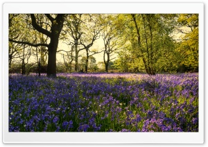 Bluebells Flowers, Woods, Spring Ultra HD Wallpaper for 4K UHD Widescreen desktop, tablet & smartphone