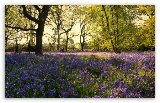 Bluebells Flowers, Woods, Spring UltraHD Wallpaper for Wide 16:10 5:3 Widescreen WHXGA WQXGA WUXGA WXGA WGA ; UltraWide 21:9 24:10 ; 8K UHD TV 16:9 Ultra High Definition 2160p 1440p 1080p 900p 720p ; UHD 16:9 2160p 1440p 1080p 900p 720p ; Standard 4:3 5:4 3:2 Fullscreen UXGA XGA SVGA QSXGA SXGA DVGA HVGA HQVGA ( Apple PowerBook G4 iPhone 4 3G 3GS iPod Touch ) ; Smartphone 16:9 3:2 5:3 2160p 1440p 1080p 900p 720p DVGA HVGA HQVGA ( Apple PowerBook G4 iPhone 4 3G 3GS iPod Touch ) WGA ; Tablet 1:1 ; iPad 1/2/Mini ; Mobile 4:3 5:3 3:2 16:9 5:4 - UXGA XGA SVGA WGA DVGA HVGA HQVGA ( Apple PowerBook G4 iPhone 4 3G 3GS iPod Touch ) 2160p 1440p 1080p 900p 720p QSXGA SXGA ;