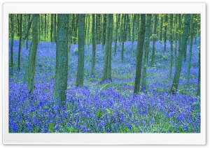 Bluebells In The Forest HD Wide Wallpaper for Widescreen