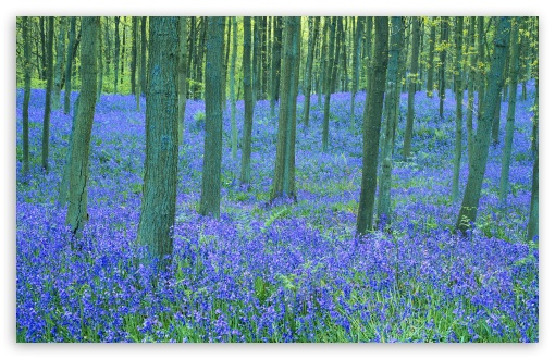Bluebells In The Forest HD wallpaper for Wide 16:10 5:3 Widescreen WHXGA WQXGA WUXGA WXGA WGA ; HD 16:9 High Definition WQHD QWXGA 1080p 900p 720p QHD nHD ; Standard 4:3 5:4 3:2 Fullscreen UXGA XGA SVGA QSXGA SXGA DVGA HVGA HQVGA devices ( Apple PowerBook G4 iPhone 4 3G 3GS iPod Touch ) ; Tablet 1:1 ; iPad 1/2/Mini ; Mobile 4:3 5:3 3:2 16:9 5:4 - UXGA XGA SVGA WGA DVGA HVGA HQVGA devices ( Apple PowerBook G4 iPhone 4 3G 3GS iPod Touch ) WQHD QWXGA 1080p 900p 720p QHD nHD QSXGA SXGA ;