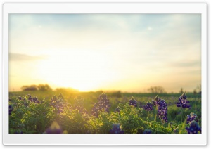 Bluebonnet Sunrise HD Wide Wallpaper for Widescreen
