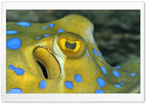 Bluespotted Ribbontail Ray Eyes HD Wide Wallpaper for Widescreen