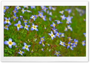 Bluets Close-up HD Wide Wallpaper for Widescreen