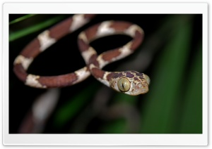 Blunt Headed Tree Snake Ultra HD Wallpaper for 4K UHD Widescreen desktop, tablet & smartphone