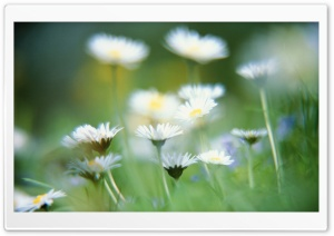 Blurry Daisies HD Wide Wallpaper for Widescreen