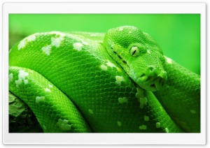 Boa Tree Snake HD Wide Wallpaper for Widescreen