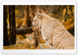 Bobcat HD Wide Wallpaper for Widescreen