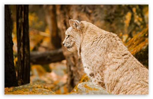 Bobcat HD wallpaper for Wide 16:10 5:3 Widescreen WHXGA WQXGA WUXGA WXGA WGA ; HD 16:9 High Definition WQHD QWXGA 1080p 900p 720p QHD nHD ; Standard 4:3 5:4 3:2 Fullscreen UXGA XGA SVGA QSXGA SXGA DVGA HVGA HQVGA devices ( Apple PowerBook G4 iPhone 4 3G 3GS iPod Touch ) ; Tablet 1:1 ; iPad 1/2/Mini ; Mobile 4:3 5:3 3:2 16:9 5:4 - UXGA XGA SVGA WGA DVGA HVGA HQVGA devices ( Apple PowerBook G4 iPhone 4 3G 3GS iPod Touch ) WQHD QWXGA 1080p 900p 720p QHD nHD QSXGA SXGA ;