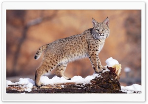 Bobcat 1 HD Wide Wallpaper for Widescreen