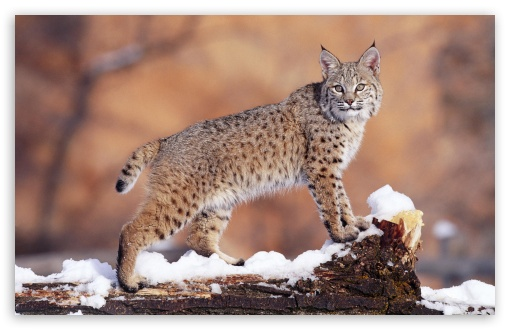 Bobcat 1 UltraHD Wallpaper for Wide 16:10 5:3 Widescreen WHXGA WQXGA WUXGA WXGA WGA ; 8K UHD TV 16:9 Ultra High Definition 2160p 1440p 1080p 900p 720p ; Standard 4:3 5:4 3:2 Fullscreen UXGA XGA SVGA QSXGA SXGA DVGA HVGA HQVGA ( Apple PowerBook G4 iPhone 4 3G 3GS iPod Touch ) ; Tablet 1:1 ; iPad 1/2/Mini ; Mobile 4:3 5:3 3:2 16:9 5:4 - UXGA XGA SVGA WGA DVGA HVGA HQVGA ( Apple PowerBook G4 iPhone 4 3G 3GS iPod Touch ) 2160p 1440p 1080p 900p 720p QSXGA SXGA ;