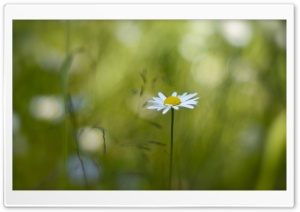 Bokeh of Daisies HD Wide Wallpaper for Widescreen