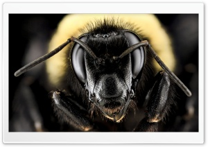 Bombus Auricomus, Black and Gold Bumblebee HD Wide Wallpaper for 4K UHD Widescreen desktop & smartphone