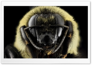 Bombus Griseocollis Brown-belted Bumblebee Head HD Wide Wallpaper for 4K UHD Widescreen desktop & smartphone
