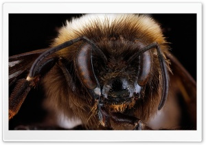 Bombus Occidentalis, the Western Bumblebee HD Wide Wallpaper for Widescreen