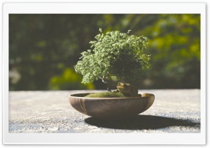Bonsai Tree HD Wide Wallpaper for Widescreen