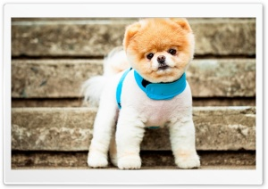 Boo The Dog HD Wide Wallpaper for Widescreen