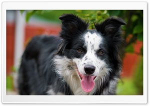 Border Collie Stare HD Wide Wallpaper for 4K UHD Widescreen desktop & smartphone