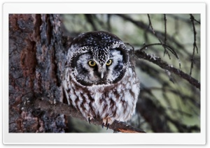 Boreal Owl HD Wide Wallpaper for Widescreen