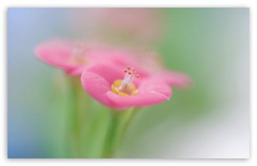 Botanical Garden Pink Flower Macro ❤ 4K UHD Wallpaper for Wide 16:10 5:3 Widescreen WHXGA WQXGA WUXGA WXGA WGA ; 4K UHD 16:9 Ultra High Definition 2160p 1440p 1080p 900p 720p ; UHD 16:9 2160p 1440p 1080p 900p 720p ; Standard 4:3 5:4 3:2 Fullscreen UXGA XGA SVGA QSXGA SXGA DVGA HVGA HQVGA ( Apple PowerBook G4 iPhone 4 3G 3GS iPod Touch ) ; Tablet 1:1 ; iPad 1/2/Mini ; Mobile 4:3 5:3 3:2 16:9 5:4 - UXGA XGA SVGA WGA DVGA HVGA HQVGA ( Apple PowerBook G4 iPhone 4 3G 3GS iPod Touch ) 2160p 1440p 1080p 900p 720p QSXGA SXGA ; Dual 4:3 5:4 UXGA XGA SVGA QSXGA SXGA ;